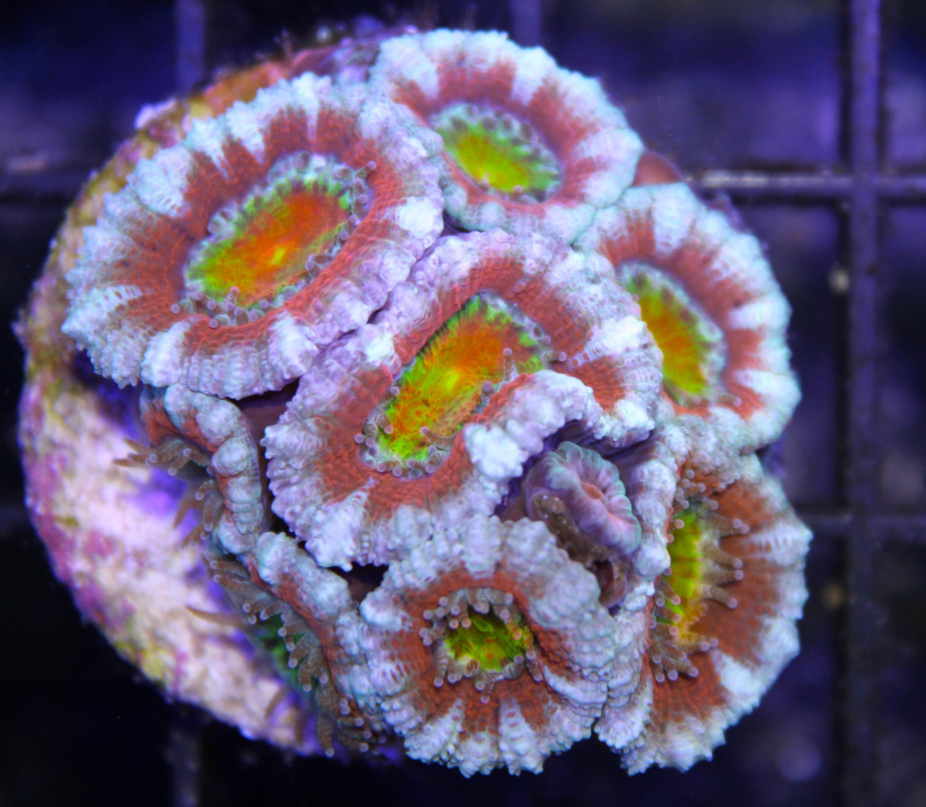 rainbow acan