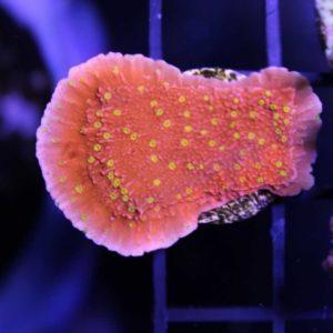 Reeftek Starburst Plating Montipora
