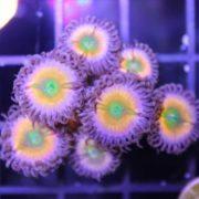 SC Orange Rainbow per polyp