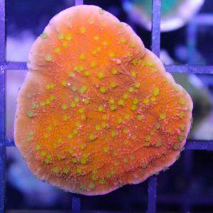 Reeftek Plating Starburst Montipora