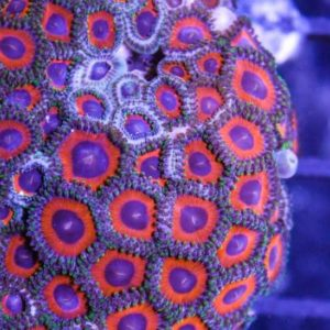 Cherry Pie Zoa Frag
