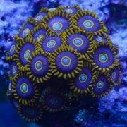 Blue Hornet Zoas pp