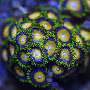 Scrambled Egg Zoas pp