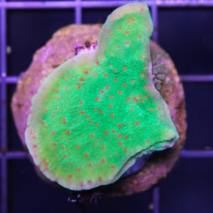 seasons greetings Montipora frag