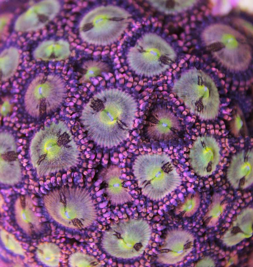 pineapple express zoa