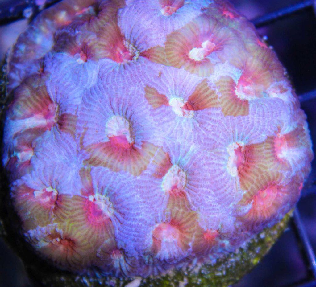 Rainbow Favia Coral