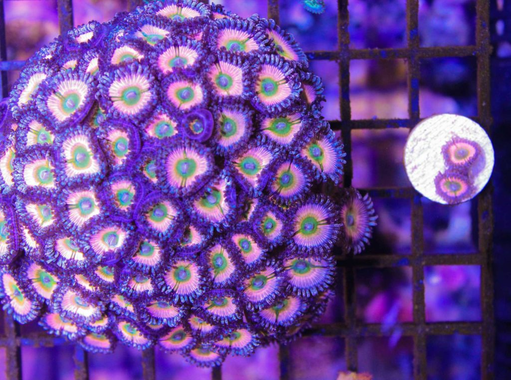 growing zoa frags
