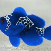Blue lighting maroon clownfish! only 1 available