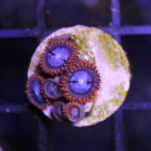 Spiderman Zoas
