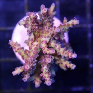 "Tyree Pink Lemonade 1"" frag"