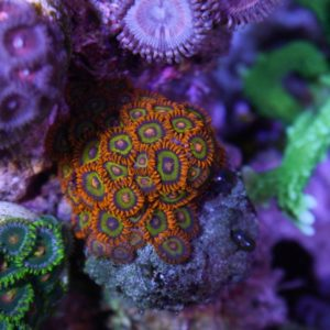 Fruit Loops Zoas 2 heads