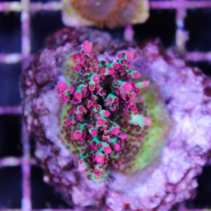 Strawberry Shortcake Acropora