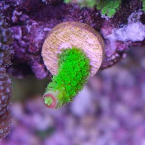 Green Hairy Monster Frag
