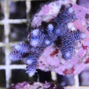 Blue Millepora