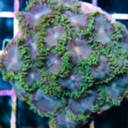 mr.Green per polyp