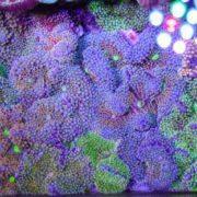 Ricordia coral canada