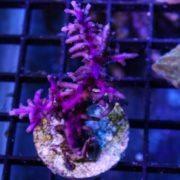 """Purple Dragon 3"""" wysiwyg"""