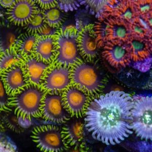 Yellow Brick Road Zoa per polyp