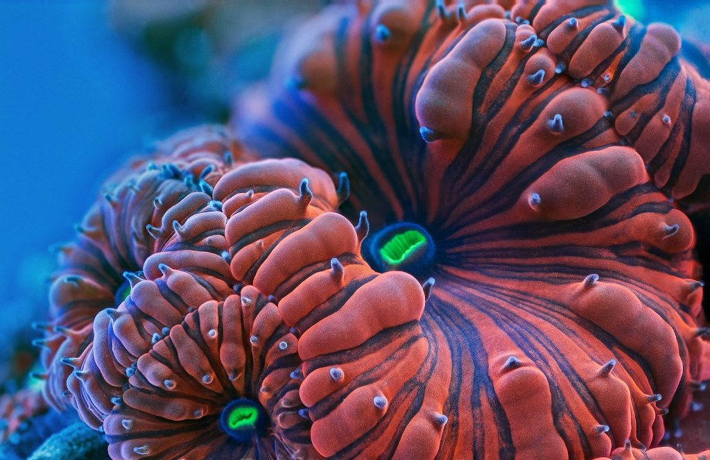 blastomusa coral