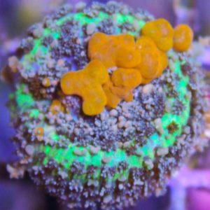 Sunkissed Bounce Mushroom
