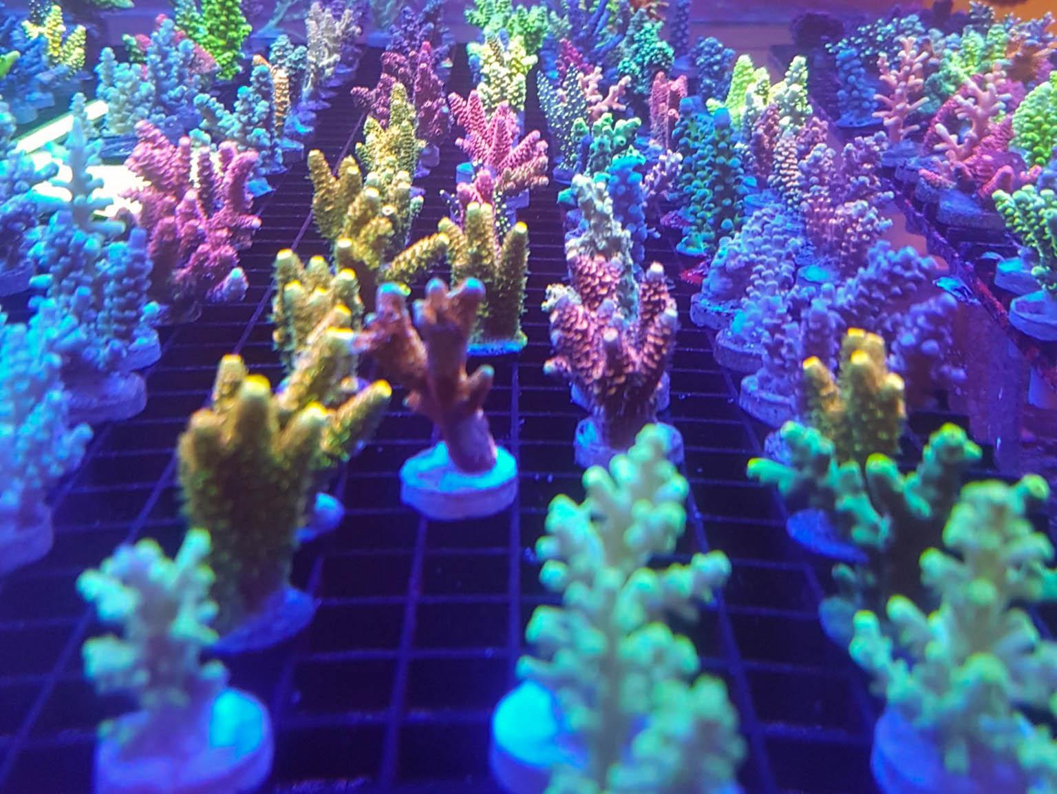 sps corals canada