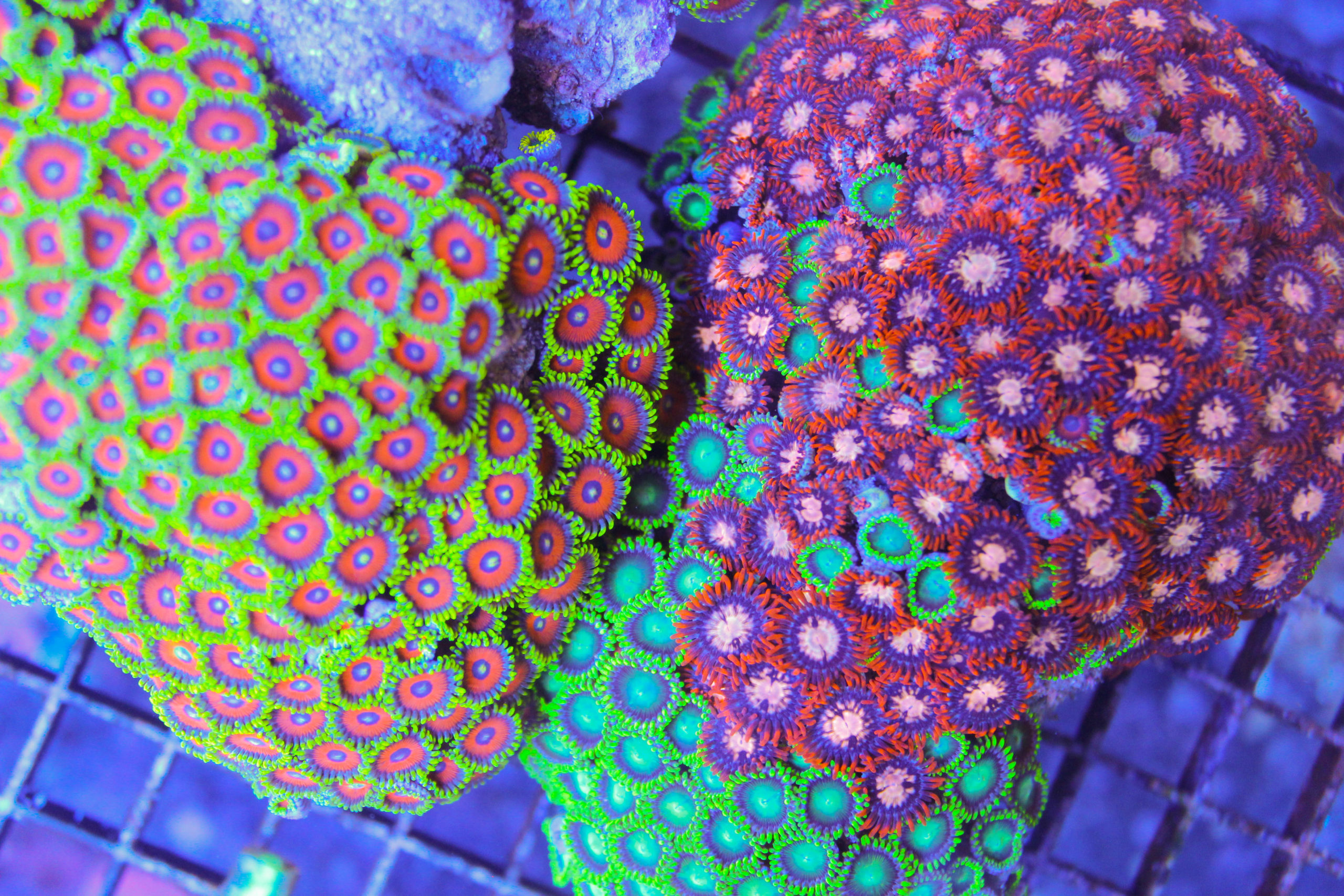 colorful zoanthids