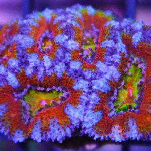 Rainbow acanastrea frag