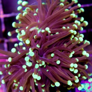 Black Torch Coral