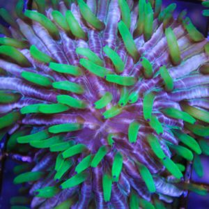 Crazy plate coral