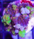 Smallpox Bounce Mushroom