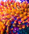 flame bubbletip anemone