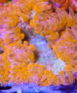orange rock flower anemone