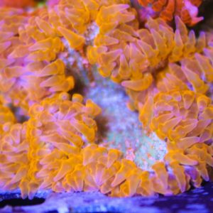 orange rock flower anemone