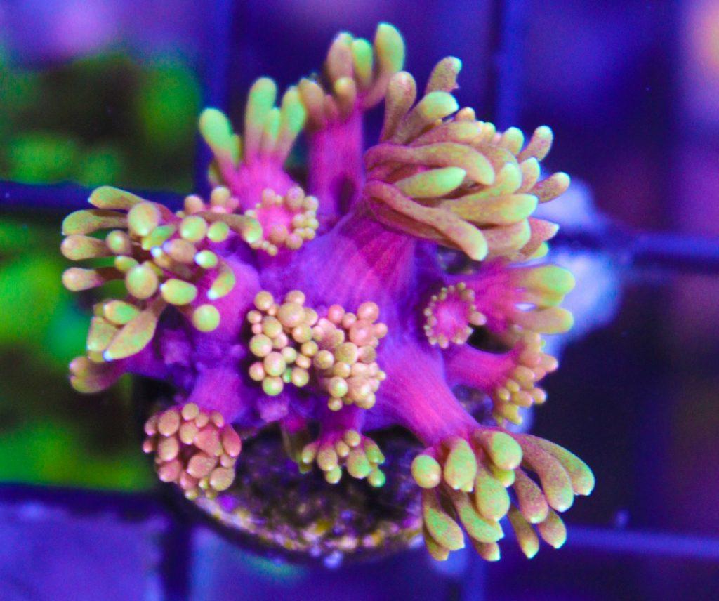 Rainbow Gonipora