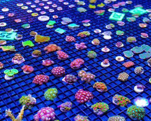 Cultured Corals