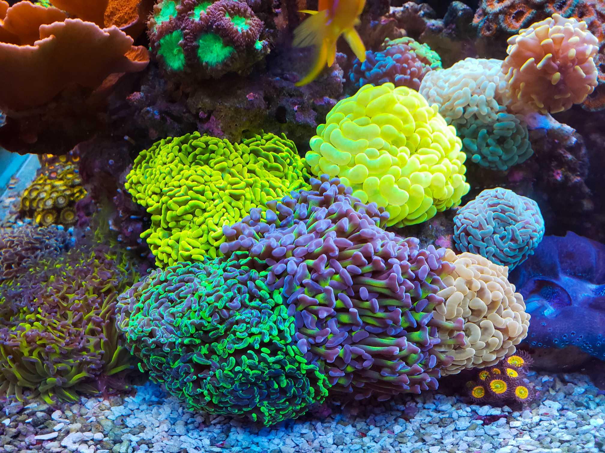 hammer coral garden