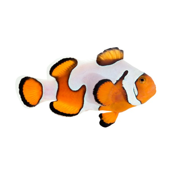 Gladiator Clownfish