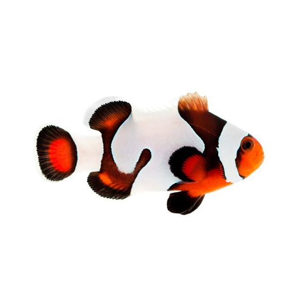 Mocha Gladiator Clownfish