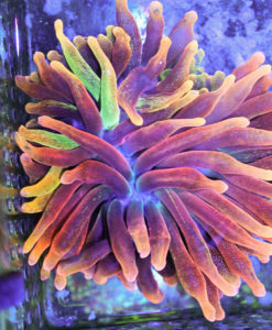 rainbow bubble tip anemone