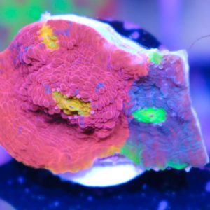Ultra Rainbow dynamite chalice