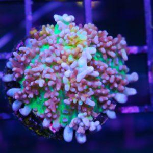 fire mushroom coral